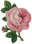 Розовая роза с бутоном